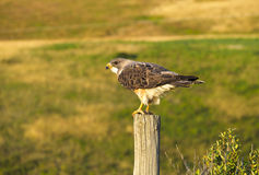 Perched Swainson`s Hawk on a Wooden Post in the evening looking for prey. A Swainson`s hawk at dusk perched on a post ready to hunt for it`s prey Royalty Free Stock Images