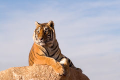 perched tiger Royaltyfri Foto