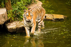 Perched tiger Stock Photography