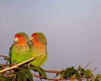 Rosy-faced lovebirds in Namibia royalty free stock photo