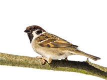 Perched tree sparrow Stock Photos