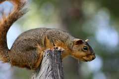 Perched Treeekorre Arkivfoton