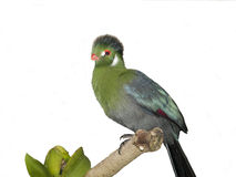 Perched turaco. African Turaco perched on a tree branch, over white Stock Image