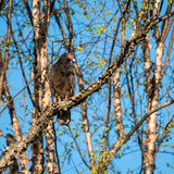 Perched Turkey Vulture Stock Photos