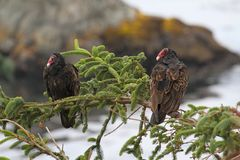 Perched Turkey Vultures Royalty Free Stock Images