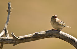 Perched Tweeting Bird Royalty Free Stock Images