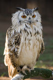 Perched Vermiculated Eagle Owl Royalty Free Stock Photo