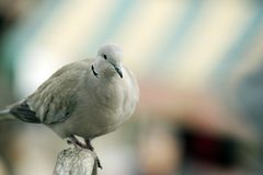 Perched white dove Stock Image