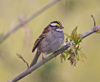 Perched White-throated Sparrow. A White-throated Sparrow (Zonotrichia albicollis) sitting a tree branch in the spring.  Shot in Southern Ontario, Canada Royalty Free Stock Photos