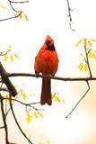 perched wild för filial kardinal Arkivbilder