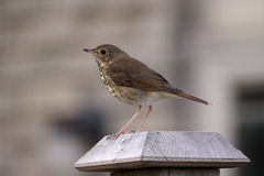 Perched Wood Thrush Royalty Free Stock Photography