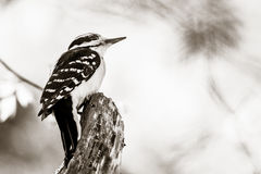 Perched Woodpecker Stock Photography