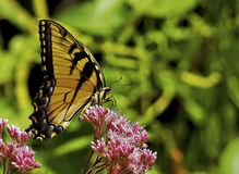 Perched Yellow Butterfly Royalty Free Stock Images