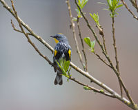 Perched Yellow-rumped Warbler. A male Yellow-rumped Warbler perched on a branch while looking to the left Royalty Free Stock Photo
