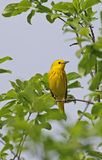 Perched Yellow Warbler Stock Photo