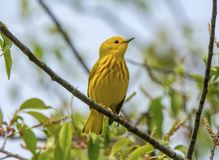 Perched Yellow Warbler. A bright and beautiful male Yellow Warbler perches on the branch of a midwestern forest at the onset of its nesting season Royalty Free Stock Image