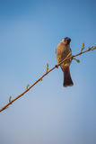 Perched在Taksin Maharach国家公园,泰国红放气了歌手Pycnonotus cafer 免版税库存图片