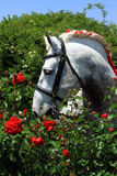 percheron stockbilder