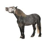 Percheron, 5 anni, una razza del cavallo di cambiale Immagine Stock