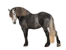 Percheron, 5 Jahre alt, eine Brut des Entwurfspferds Stockfotos