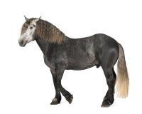 Percheron, 5 Jahre alt, eine Brut des Entwurfspferds Stockfotografie