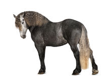 Percheron, 5 years old, a breed of draft horse Stock Photos