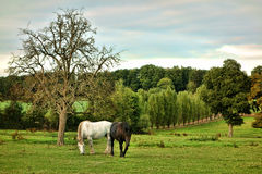 Percheron Draft Horses Grazing on a Farm Field Royalty Free Stock Photo