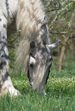 Percheron Stock Photo