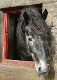 Percheron Horse. Roan Percheron stallion looking out of stone stable Stock Photos