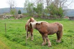 Percheron horse Royalty Free Stock Images
