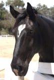 Percheron Pferd Lizenzfreies Stockfoto