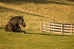 Percheron Pferd, das auf dem Gebiet legt lizenzfreie stockfotos