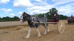 Percheron-Pferd an einem Kaltblut-Land-Zeigung in England Stockbild