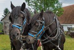 Percheron-Pferdeunebenheits-Köpfe Lizenzfreie Stockfotografie
