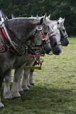 Percherons Stock Image
