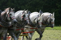 percherons Royaltyfri Bild