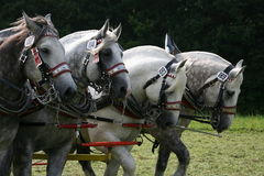 Percherons Stock Images