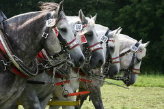 Percherons Stock Photography