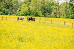 Percherons horses in a field of yellow wildflowers in Perche, France Royalty Free Stock Photography