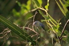 Perches bleues de caerulea de Gray Gnatcatcher Polioptila dans la brosse image stock