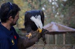Perches qualifiées d'aigle chauve sur le gant du fauconnier, picoter actuel images stock