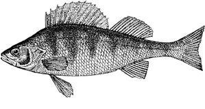 Perchia dei pesci Fotografia Stock