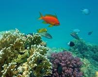Perchia del corallo rosso (maschio) Immagini Stock