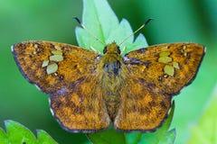 Perchia del lepidottero sul foglio Fotografia Stock