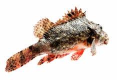 Perchia della pietra dei pesci freschi Immagine Stock Libera da Diritti