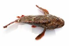 Perchia della pietra dei pesci freschi Fotografia Stock Libera da Diritti