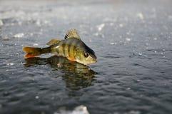 Perchia su ghiaccio Fotografia Stock