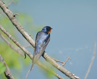 A Perching Barn Swallow Stock Photography