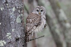Perching Barred Owl. A beautiful barred owl Strix varia perching in the forest royalty free stock image