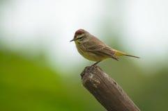 Perching bird Royalty Free Stock Photo